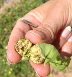 Oil from the tobacco plant's seeds will be converted into jet fuel. (Photo/SkyNRG)